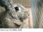 Серый кролик крупным планом. Стоковое фото, фотограф Оксана Алексеенко / Фотобанк Лори
