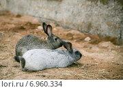 Два кролика на ферме. Стоковое фото, фотограф Оксана Алексеенко / Фотобанк Лори
