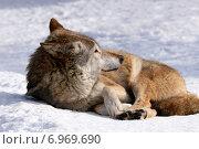 Купить «Волк отдыхает на снегу (Canis lupus)», эксклюзивное фото № 6969690, снято 13 марта 2011 г. (c) Щеголева Ольга / Фотобанк Лори
