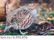 Купить «Куропатка серая. Partridge (Perdix perdix)», фото № 6970810, снято 27 сентября 2014 г. (c) Василий Вишневский / Фотобанк Лори