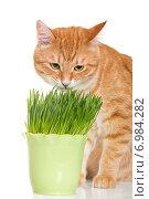 Купить «Рыжий кот ест зеленую траву в горшке», фото № 6984282, снято 4 января 2015 г. (c) Okssi / Фотобанк Лори
