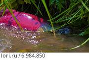 Купить «Нерка плывёт на нерест под травой нависшей над берегом», фото № 6984850, снято 22 июля 2008 г. (c) Дмитрий УТКИН / Фотобанк Лори