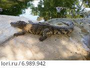 Крокодил ползет. Стоковое фото, фотограф Александр Первунин / Фотобанк Лори