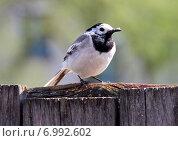Купить «Трясогузка с пухом в клюве сидит на заборе», фото № 6992602, снято 9 мая 2012 г. (c) Марина Орлова / Фотобанк Лори