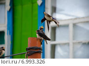 Кормящая ласточка. Стоковое фото, фотограф Владимир Матвеев / Фотобанк Лори