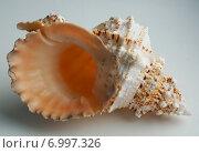 Морская раковина. Стоковое фото, фотограф Анастасия Гамова / Фотобанк Лори
