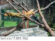 Вараны лежат на ветках в террариуме зоопарка города Хошимин (Сайгонский зоопарк) (2014 год). Редакционное фото, фотограф Ольга Кирсанова / Фотобанк Лори