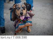 Собака в маскарадном костюме. Стоковое фото, фотограф Artem Kotelnikov / Фотобанк Лори