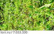 Купить «Поляна незабудок», видеоролик № 7033330, снято 18 декабря 2014 г. (c) Павел С. / Фотобанк Лори