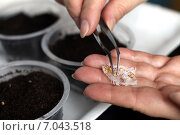 Купить «Посадка семян пинцетом», фото № 7043518, снято 22 февраля 2015 г. (c) DementevaJulia / Фотобанк Лори