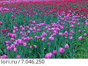 Поляна тюльпанов. Стоковое фото, фотограф Михаил Скутин / Фотобанк Лори