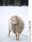 Купить «Улыбающийся баран на поле зимой», фото № 7046378, снято 14 февраля 2015 г. (c) Юлия Преснякова / Фотобанк Лори