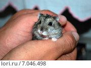 Хомяк в руках. Стоковое фото, фотограф Юлия Волкова / Фотобанк Лори