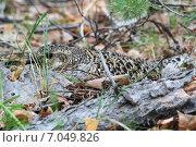 Купить «Самка тетерева на гнезде», фото № 7049826, снято 27 мая 2011 г. (c) Сергей Резниченко / Фотобанк Лори
