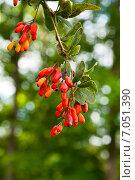 Купить «Спелые ягоды барбариса», фото № 7051390, снято 2 сентября 2014 г. (c) Юлия Бабкина / Фотобанк Лори
