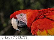 Попугай. Красный ара (2014 год). Стоковое фото, фотограф Ерошкина Ольга / Фотобанк Лори