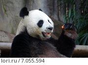 Купить «Таиланд. Панда в зоопарке Чиангмая», фото № 7055594, снято 18 января 2015 г. (c) Natalya Sidorova / Фотобанк Лори