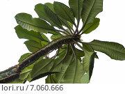Молочай(Euphorbia) leuconeura на белом фоне. Стоковое фото, фотограф Митрофанов Роман / Фотобанк Лори