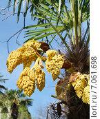 Купить «Цветение финиковой пальмы», эксклюзивное фото № 7061698, снято 17 апреля 2014 г. (c) Dmitry29 / Фотобанк Лори