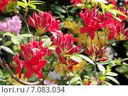 Красные цветы рододендрона (Rhododendron) Стоковое фото, фотограф Илюхина Наталья / Фотобанк Лори