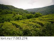 Плантации чая, Краснодарский край. Стоковое фото, фотограф Елена Корнеева / Фотобанк Лори