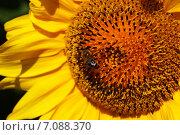 Оса на подсолнухе. Стоковое фото, фотограф Юлия Алексеева / Фотобанк Лори