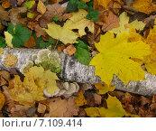 Осенние листья. Стоковое фото, фотограф Виктор Мандриков / Фотобанк Лори