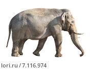 Купить «Индийский слон на белом фоне. Изолировано», фото № 7116974, снято 11 марта 2015 г. (c) Наталья Волкова / Фотобанк Лори