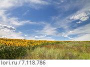 Поле подсолнухов летом, Воронежская область, Россия. Стоковое фото, фотограф Руслан Шувалов / Фотобанк Лори