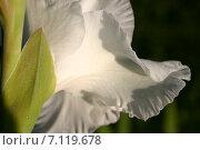 Белый бархат цветка. Стоковое фото, фотограф Геннадий Георгевич Руденко / Фотобанк Лори
