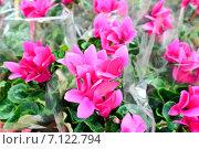 Купить «Розовые цикламены в питомнике», фото № 7122794, снято 4 марта 2015 г. (c) Володина Ольга / Фотобанк Лори