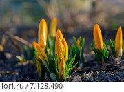Купить «Желтые крокусы на клумбе», фото № 7128490, снято 16 марта 2015 г. (c) Валерий Боярский / Фотобанк Лори