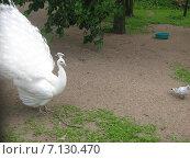 Белый павлин. Стоковое фото, фотограф Алексей Апполонов / Фотобанк Лори