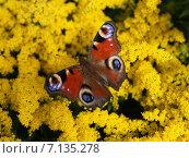 Бабочка на желтых цветах. Стоковое фото, фотограф Лия / Фотобанк Лори