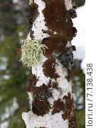 Купить «Уснея (Usnea) и пармелия (Parmelia olivacea) на березе», фото № 7138438, снято 17 марта 2015 г. (c) Григорий Писоцкий / Фотобанк Лори