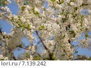 Цветущая вишня. Стоковое фото, фотограф Моргулян Михаил / Фотобанк Лори