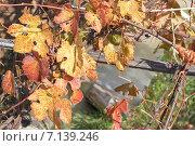 Листья винограда. Стоковое фото, фотограф Моргулян Михаил / Фотобанк Лори