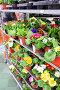 Цветы в горшках в магазине OBI, Москва, фото № 7139678, снято 4 марта 2015 г. (c) Володина Ольга / Фотобанк Лори