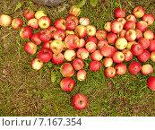 Яблоки лежат на траве. Стоковое фото, фотограф Аксенова Вера / Фотобанк Лори