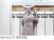 Бесшерстный кот, донской сфинкс, сидит прислонившись к батарее центрального отопления. Стоковое фото, фотограф Кекяляйнен Андрей / Фотобанк Лори