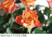 Купить «Оранжевая роза», эксклюзивное фото № 7173158, снято 24 марта 2015 г. (c) Илюхина Наталья / Фотобанк Лори