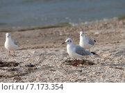 Купить «Чайки на пляже», фото № 7173354, снято 7 сентября 2014 г. (c) Анна Полторацкая / Фотобанк Лори