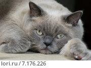 Британская короткошерстная кошка. Стоковое фото, фотограф Михаил Иванцов / Фотобанк Лори