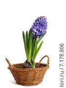 Купить «Синий гиацинт в плетеной корзинке», фото № 7178806, снято 22 марта 2015 г. (c) Юлия Кузнецова / Фотобанк Лори