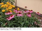 Купить «Эхинацея и рудбекия  в саду», фото № 7183918, снято 22 июля 2012 г. (c) Марина Орлова / Фотобанк Лори