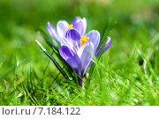 Купить «Красивые весенние крокусы на зеленой поляне», фото № 7184122, снято 19 марта 2015 г. (c) Татьяна Кахилл / Фотобанк Лори