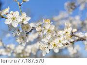 Цветущая яблоня. Стоковое фото, фотограф Евгений Чернышов / Фотобанк Лори