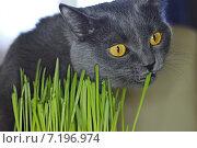 Кот ест траву. Стоковое фото, фотограф Евгений Брызгалов / Фотобанк Лори