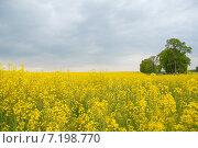 Купить «Жёлтое рапсовое поле», эксклюзивное фото № 7198770, снято 15 октября 2018 г. (c) Svet / Фотобанк Лори