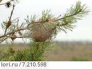 Купить «Кокон гусениц на ветке сосны», фото № 7210598, снято 30 марта 2014 г. (c) Сурикова Ирина / Фотобанк Лори